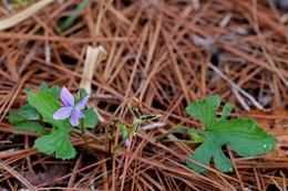 Image of Wood Violets
