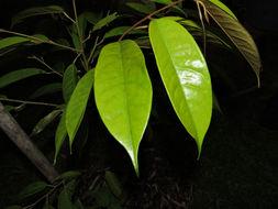Image of <i>Durio zibethinus</i> Murray