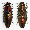 Image of <i>Philocteanus moricii</i>