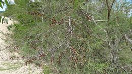 Image of <i>Allocasuarina rigida</i> (Miq.) L. A. S. Johnson