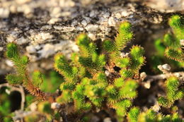 Image of Arizona spikemoss