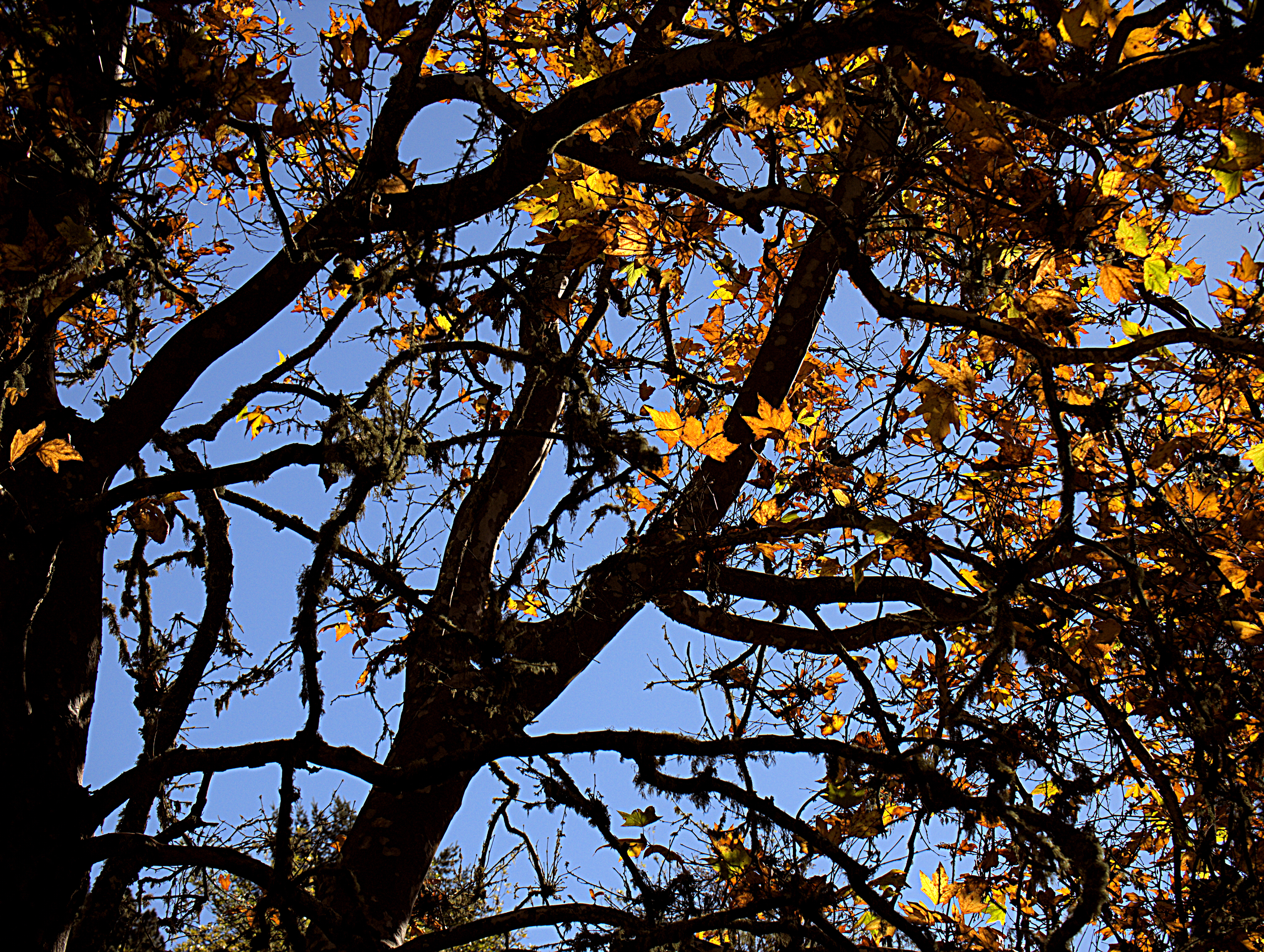 Image of California sycamore