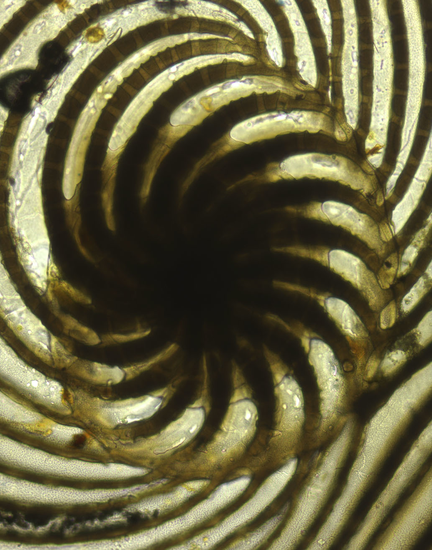 Image of <i>Cycloputeolina discoidea</i> (Flint 1899)