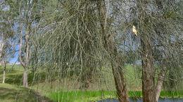Image of Grey Sheoak