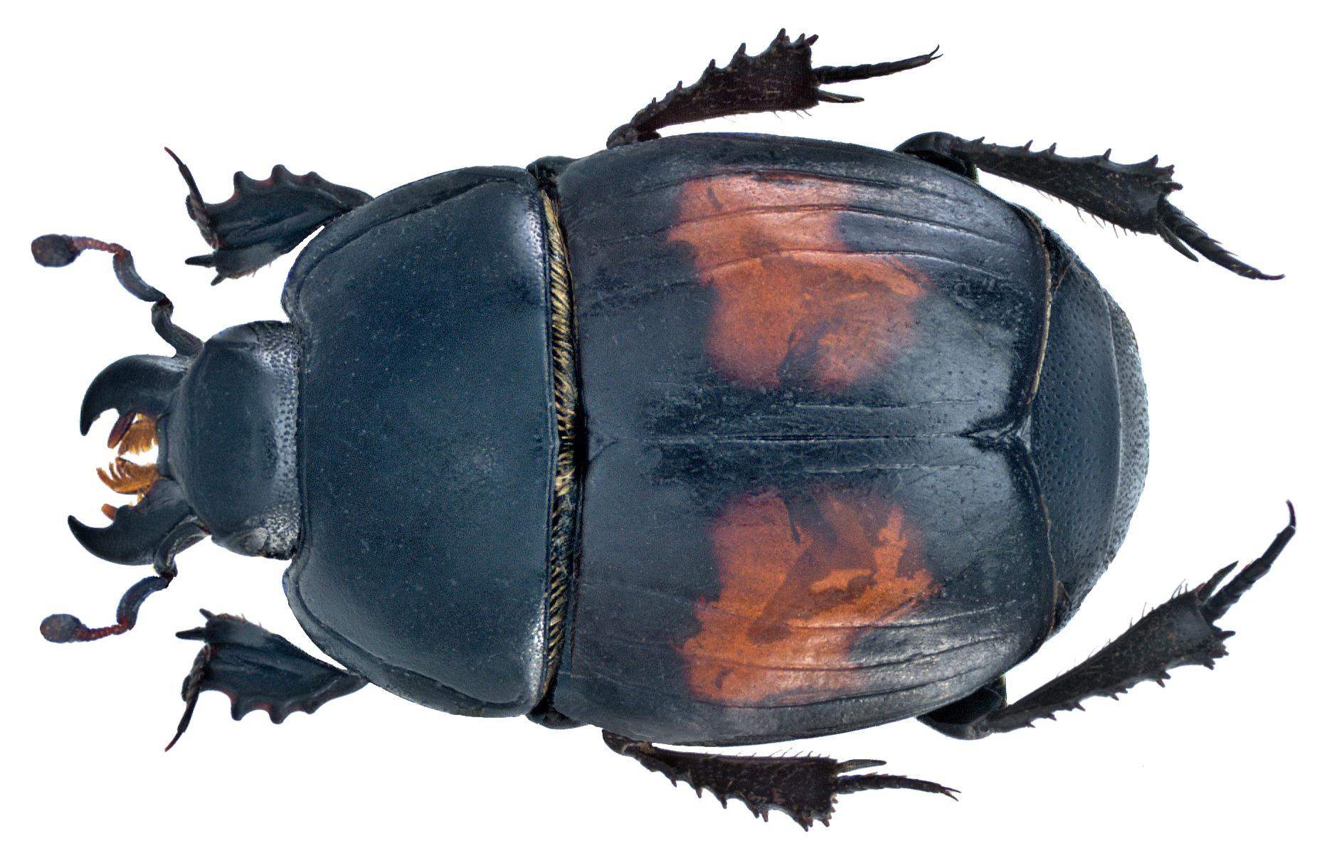Image of <i>Margarinotus</i> (<i>Eucalohister</i>) <i>bipustulatus</i> (Schrank 1781)