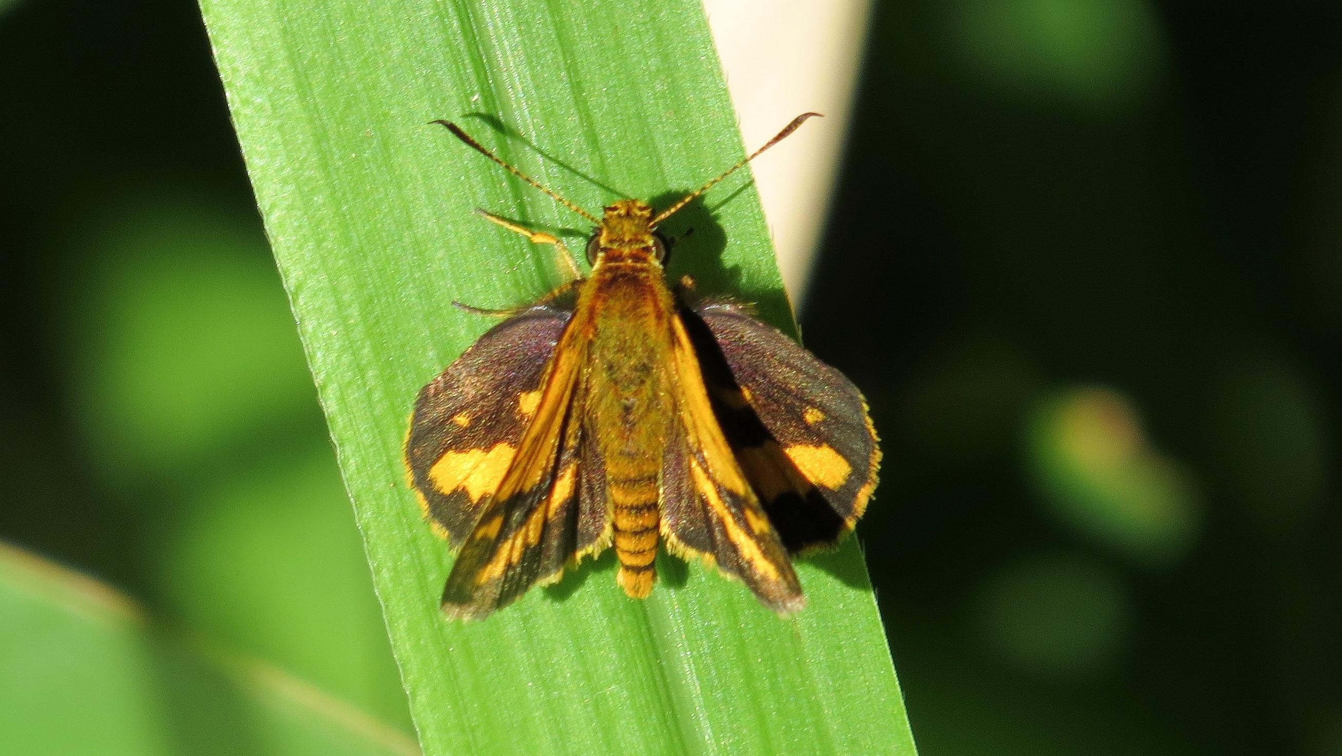 Image of <i>Suniana sunias</i> Felder 1860