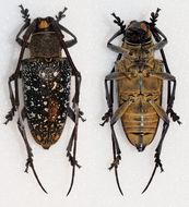 Image of <i>Peribasis pubicollis</i> Pascoe 1866