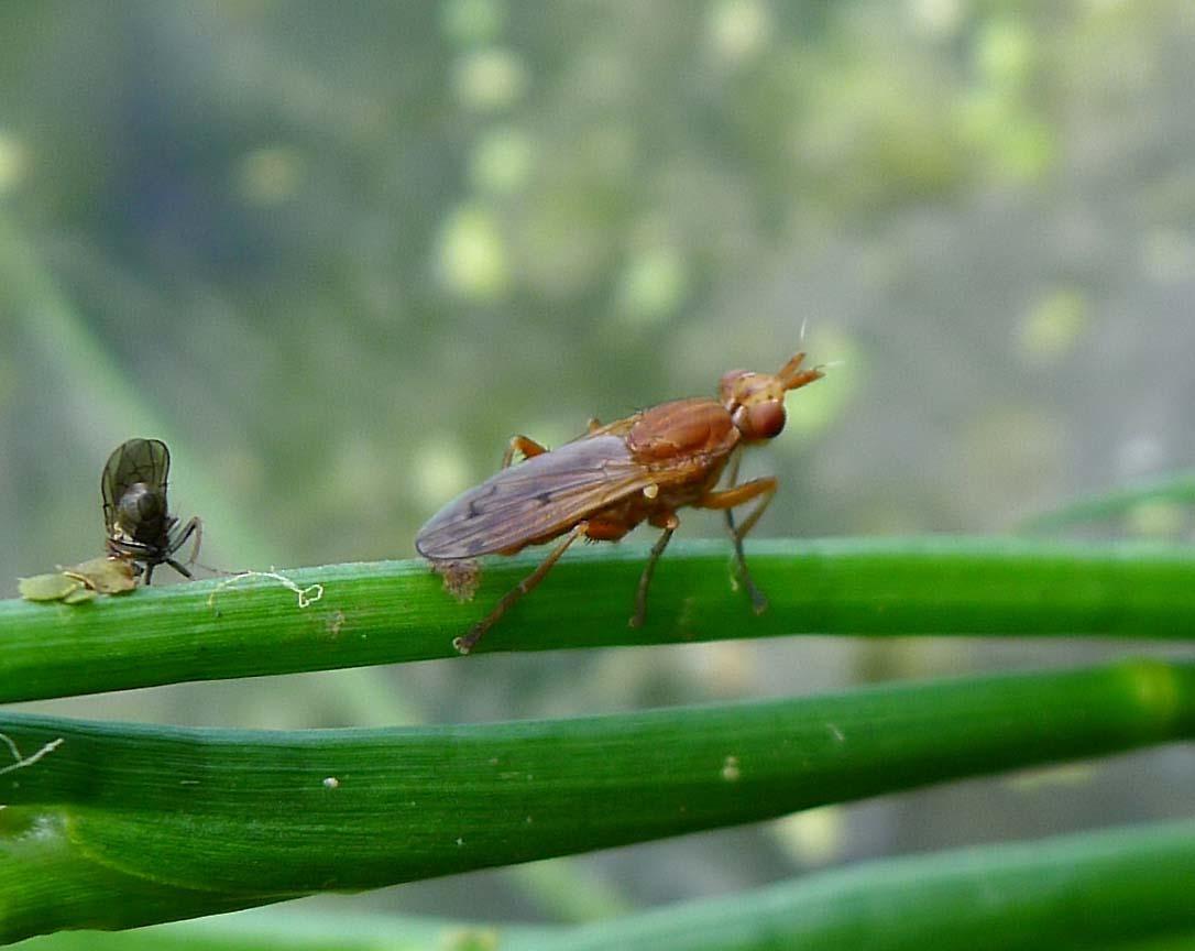 Image of <i>Elgiva species</i>