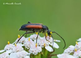 Image of Black-striped Longhorn Beetle