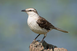 Image of Chalk-browed Mockingbird
