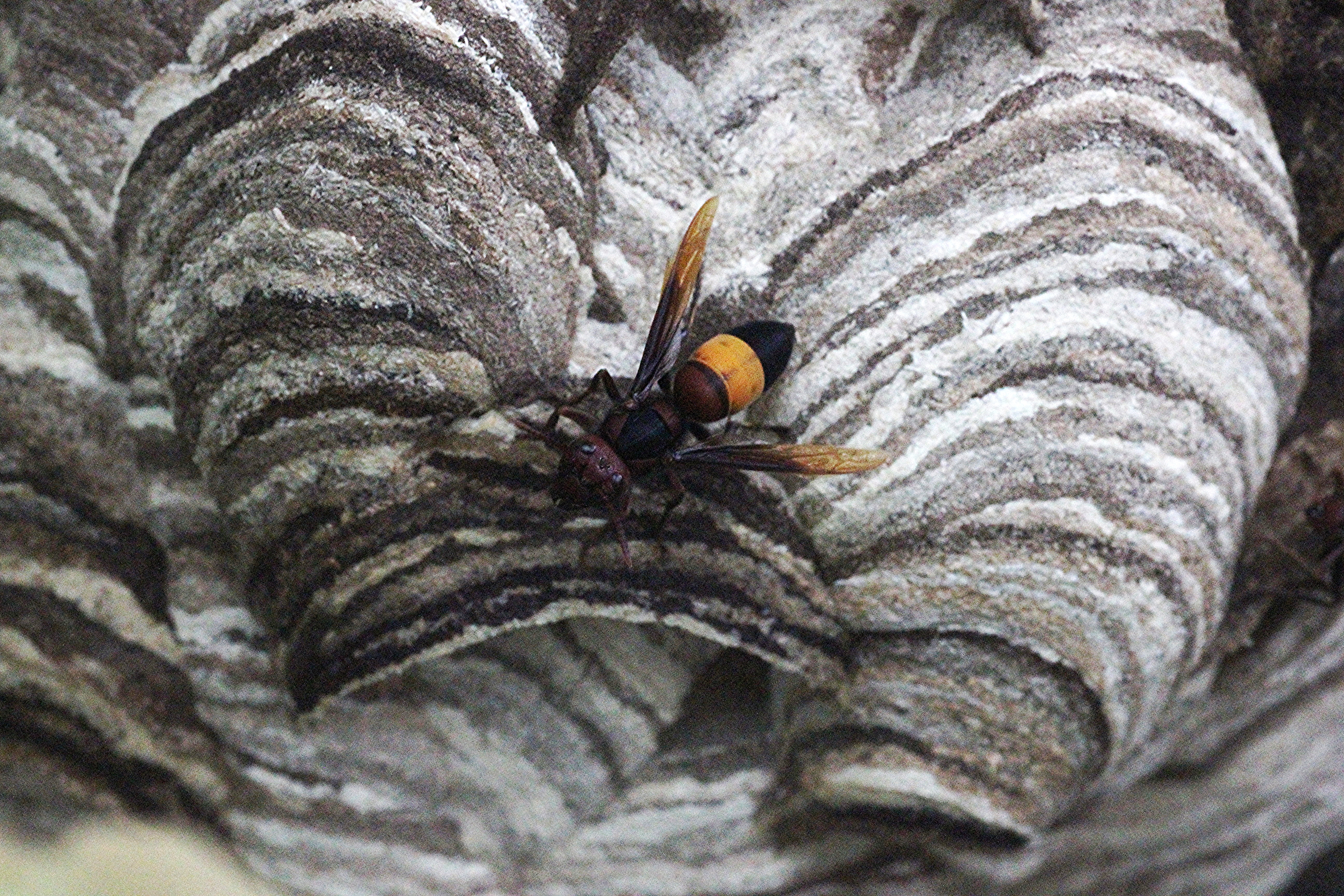 Image of Greater banded hornet