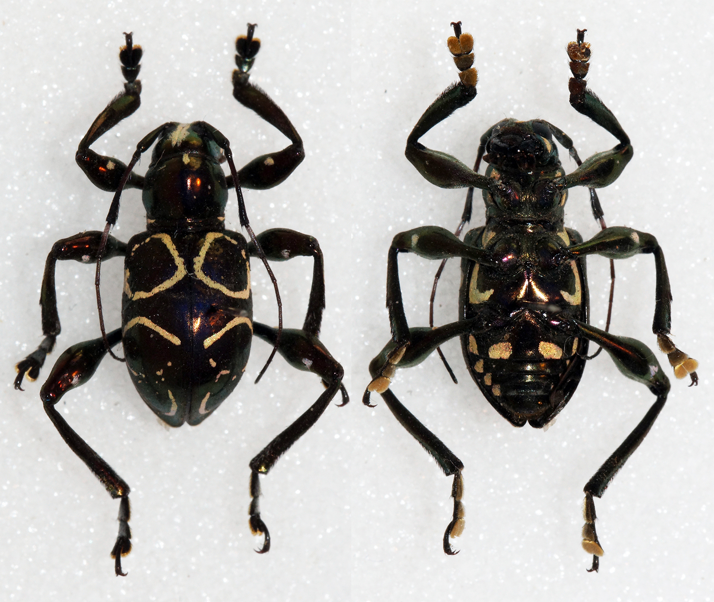 Image of <i>Doliops ligata</i> Schwarzer 1929