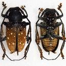 Image of <i>Gnathoenia albomaculata</i> Quedenfeldt 1881