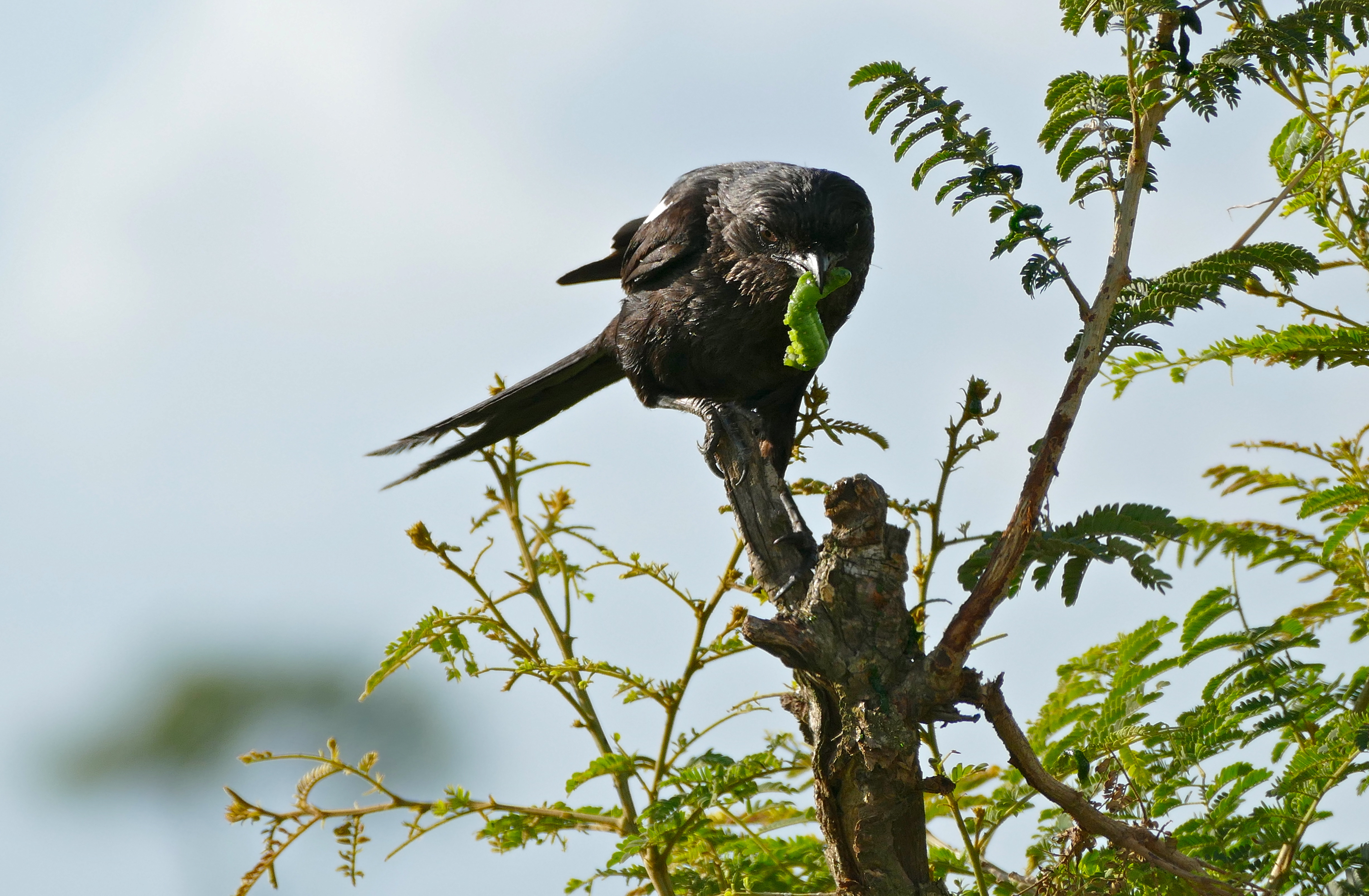 Image of Magpie Shrike