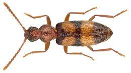 Image of Notoxus longitarsus