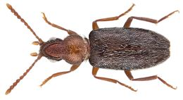 Image of Notoxus amaculatus