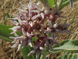 Image of showy milkweed