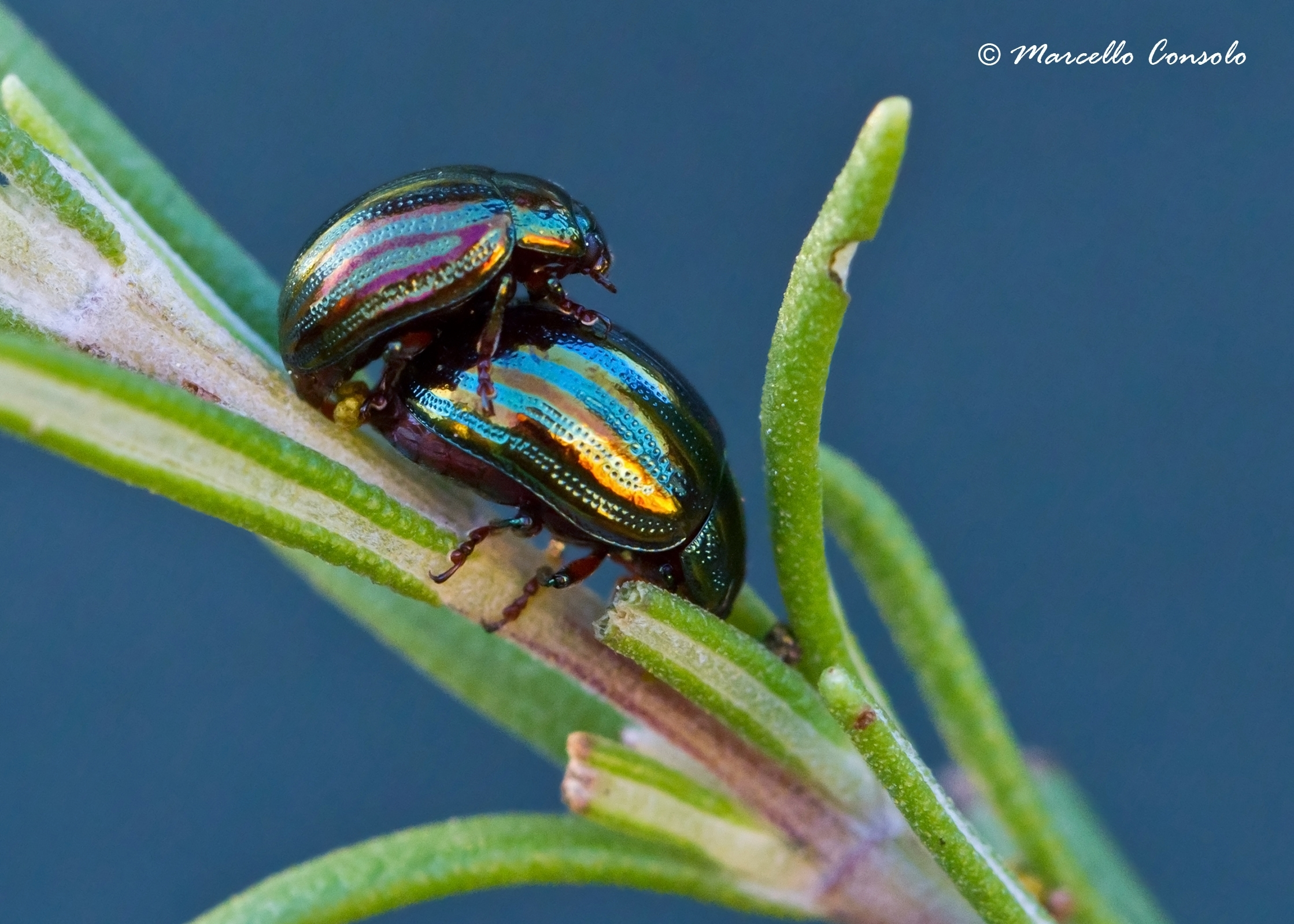 Image of Rosemary Beetle