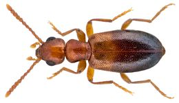Image of <i>Omonadus mateui</i> Bonadona 1959