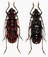 Image of <i>Aeolesthes oenochrous</i>