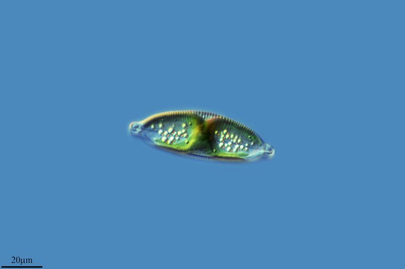 Image of <i>Cymbella cuspidata</i>