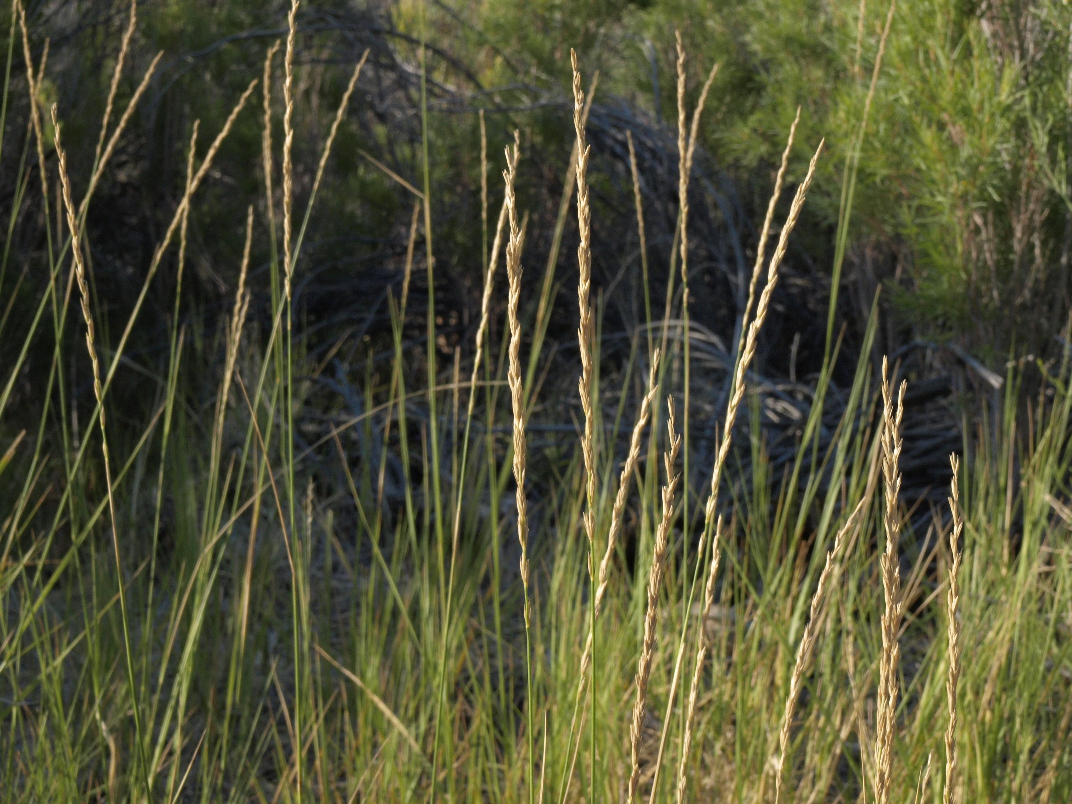 Image of <i>Elymus <i>triticoides</i></i> triticoides