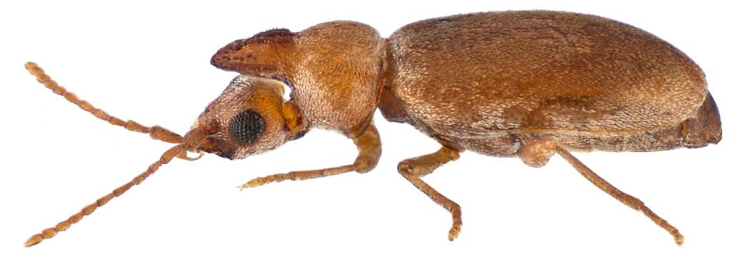 Image of <i>Pseudonotoxus punctatus</i>