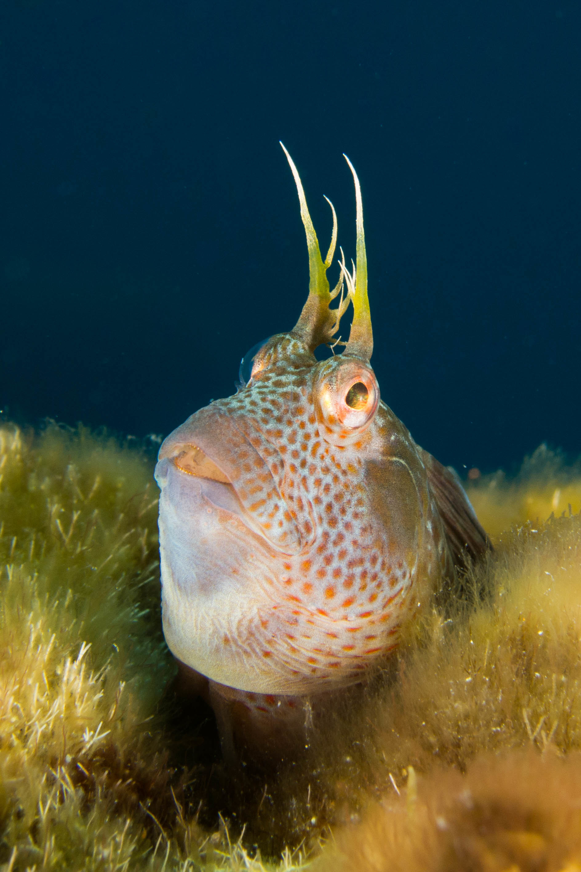 Image of Horned Blenny