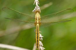 Image of Black-headed Skimmer