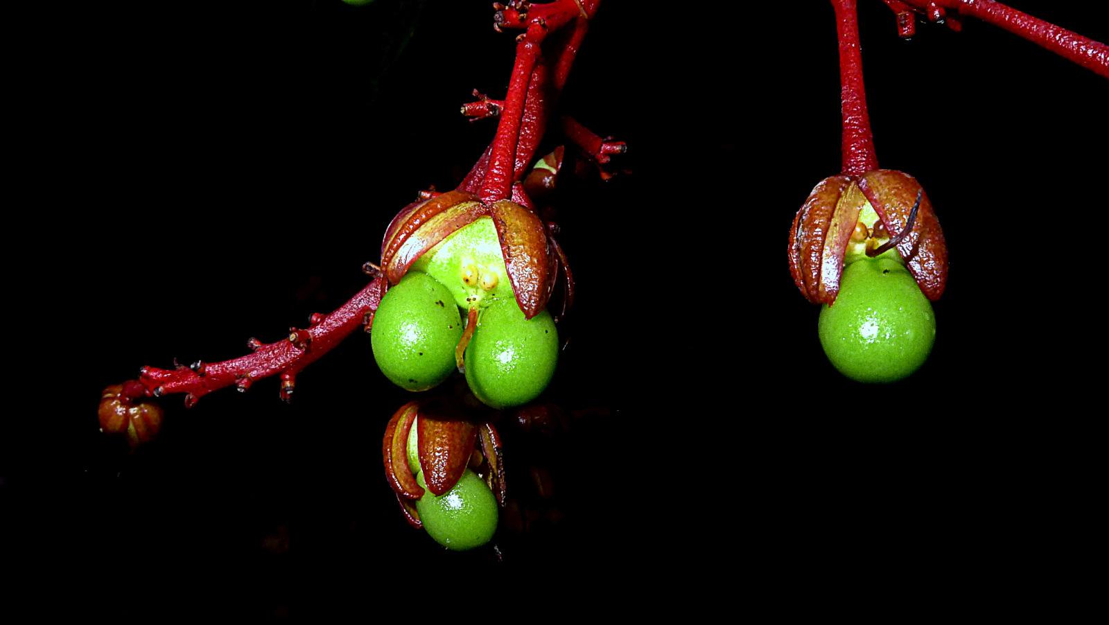 Image of <i>Ouratea gigantophylla</i> (Erhard) Engl.