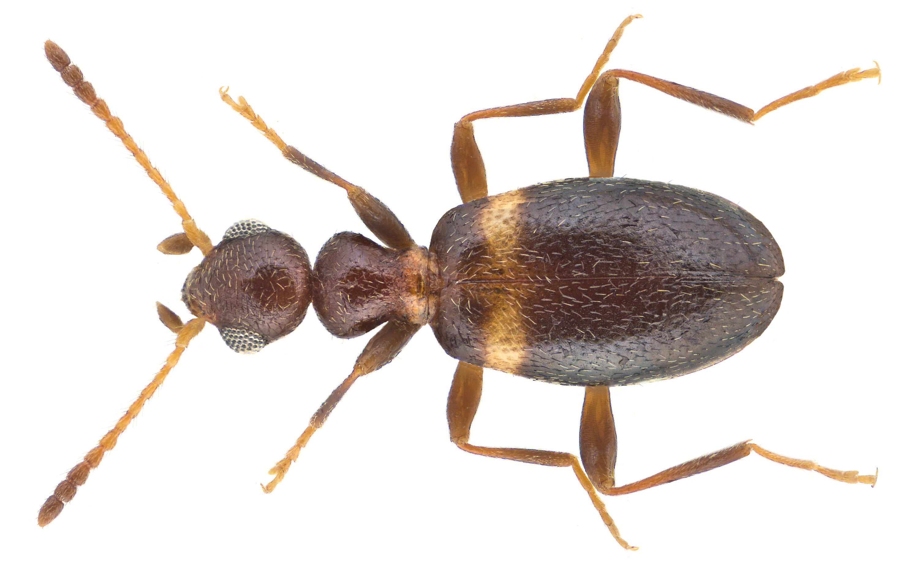 Image of <i>Pseudoleptaleus unifasciatus</i>