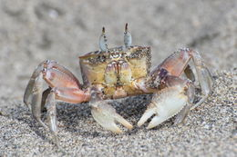 Image of Galapagos Ghost Crab