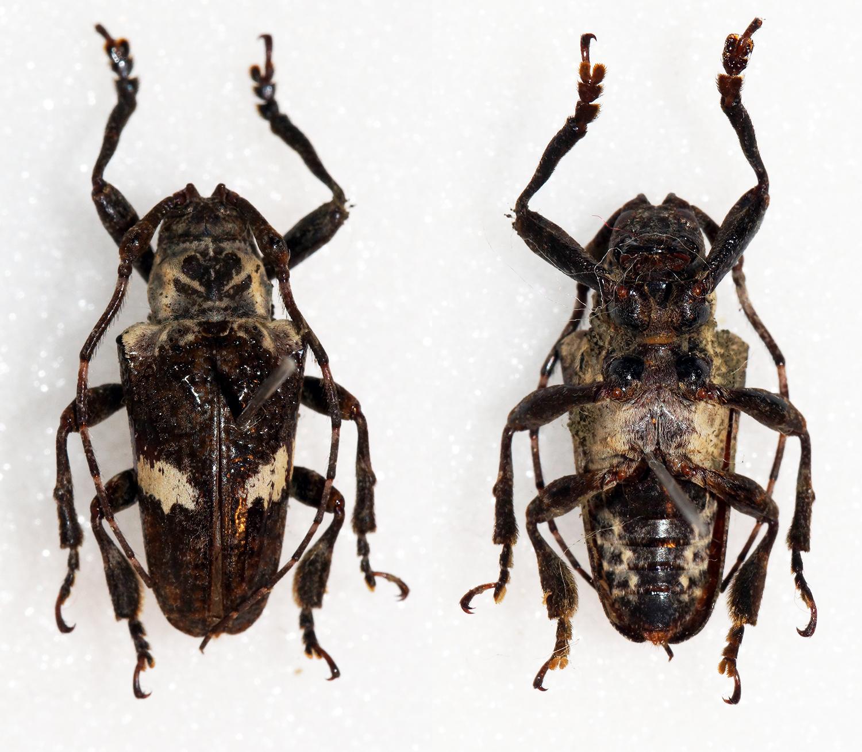 Image of <i>Cipriscola fasciata</i> (Thomson 1860)