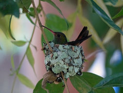 Image of Rufous-tailed Hummingbird