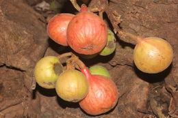 Image of cluster fig