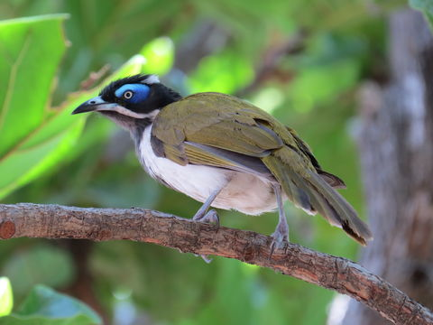 Image of Blue-faced Honeyeater