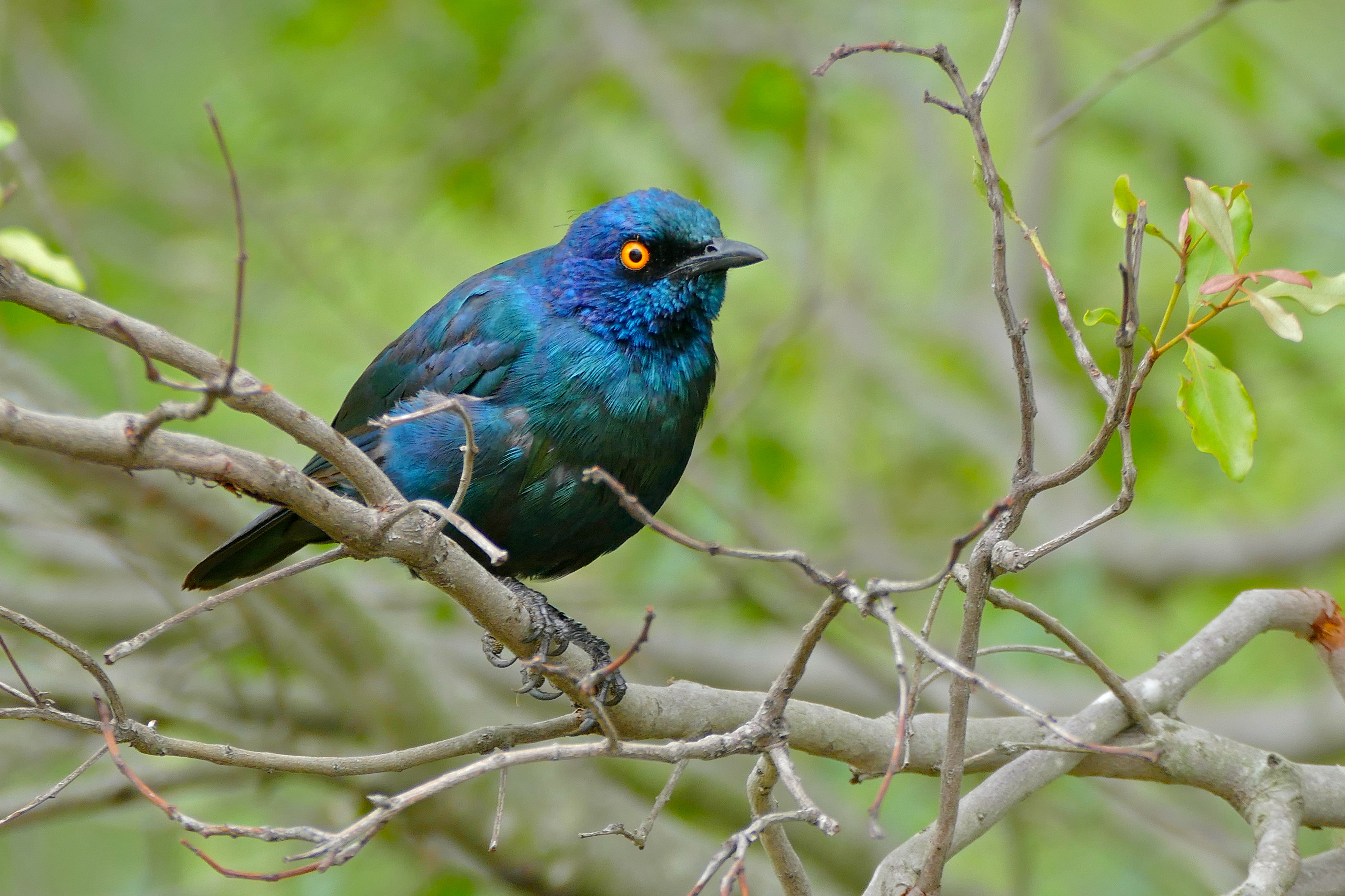 Image of Cape Glossy Starling