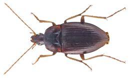 Image of <i>Calathus</i> (<i>Lauricalathus</i>) <i>abaxoides</i> Brullé 1839