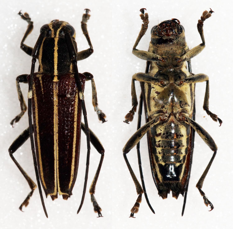 Image of <i>Glenea <i>versuta</i></i> ssp. versuta