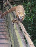 Image of South American Coati