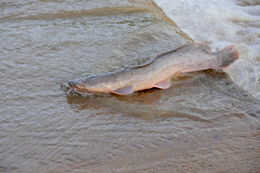 Image of African Catfish