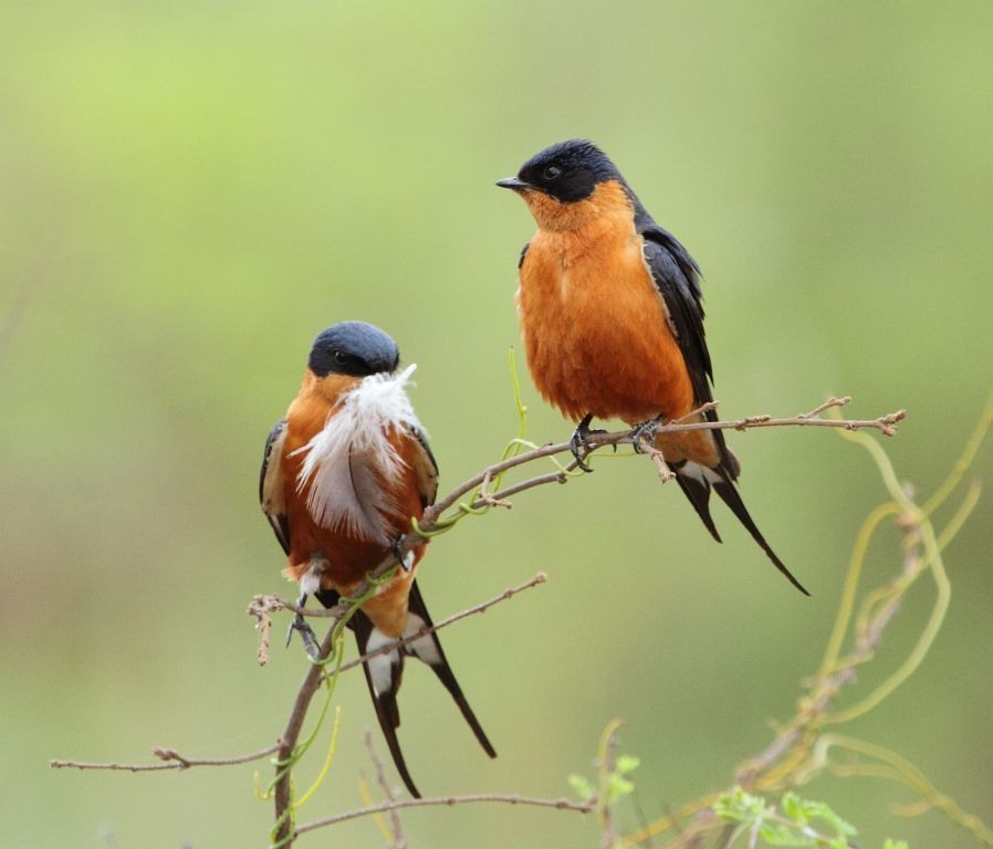 Image of Red-breasted Swallow