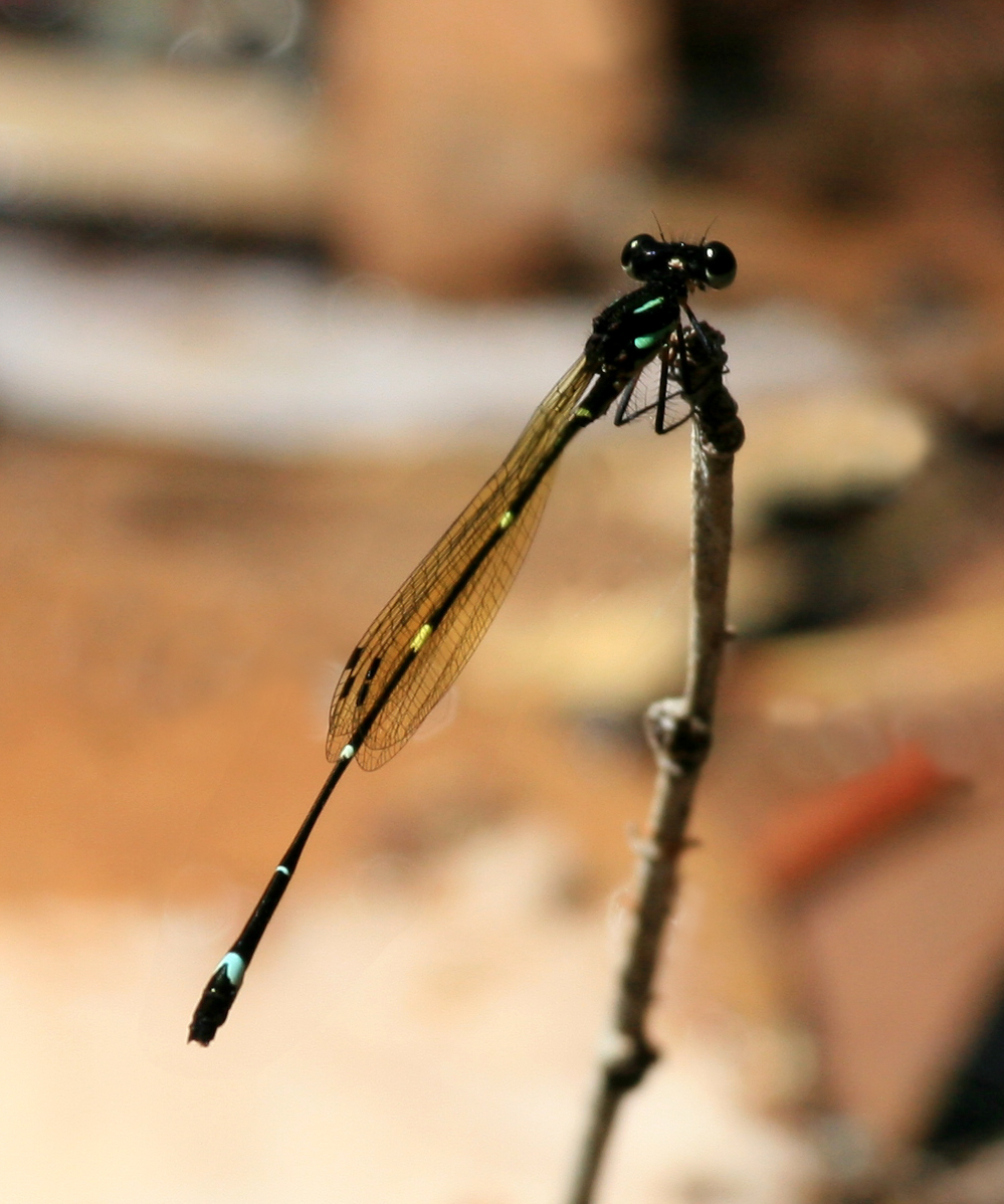 Image of Fivespot Threadtail