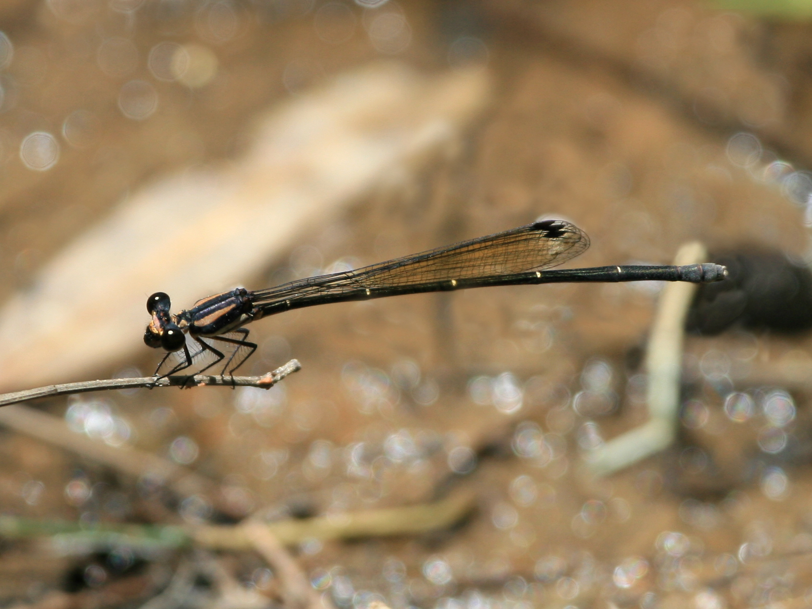 Image of Green-blue Threadtail