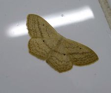 Image of <i>Scopula timboensis</i> Prout 1938
