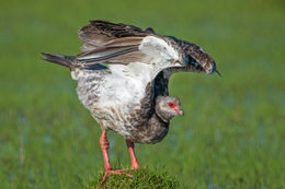 Image of Southern Screamer