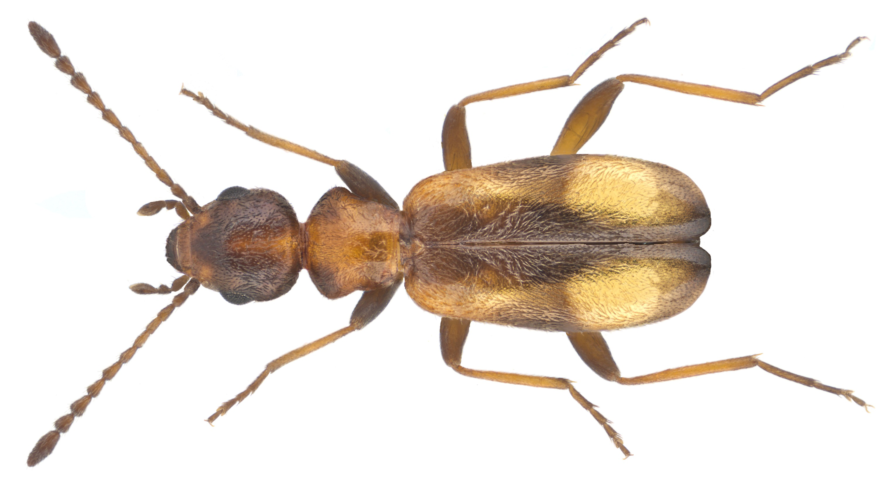 Image of <i>Aulacoderus cecileae</i> (van Hille 1985)