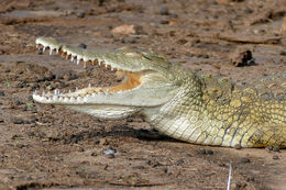 Image of Nile Crocodile
