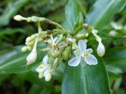 Image of <i>Pollia crispata</i> (R. Br.) Benth.