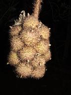 Image of <i>Astrocaryum alatum</i> Loomis